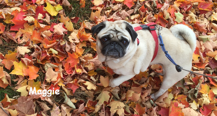 Healthy Food For Pets Customer: Maggie, the Pug belonging to Bill and Jean Hart